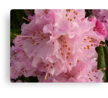 first rhododendron of the season Canvas Print