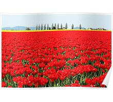 Fire Engine Red Tulips Poster