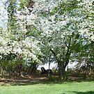 A Beautiful Appleblossom Tree in Springtime NJ by Monica Engeler