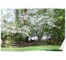 A Beautiful Appleblossom Tree in Springtime NJ Poster