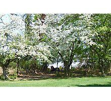 A Beautiful Appleblossom Tree in Springtime NJ Photographic Print