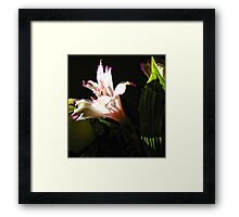 Birthday Bouquet - Peruvian Lilly in th Afternoon Sun  Framed Print