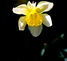 Daffodil by Audrey Krüger