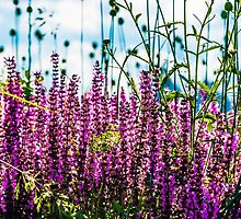 Lavender flowerbed by luckypixel