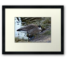 Water World - Mother Goose Grazing Framed Print