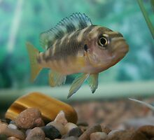 Bumble bee cichlid by Taz Young