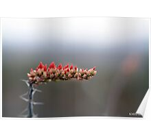 Ocotillo Cactus Flower Poster