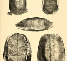 The Reptiles of British India by Albert C L G Gunther 1864 0489 Cuora Flavomarginata, Cyclemys Oldharai Turtle by wetdryvac