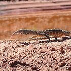 Perentie (Varanus giganteus), Krichauff Ranges, Central Australia by sahoaction