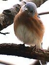 Bluebird by Veronica Schultz