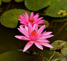 Waterlily by Milonk