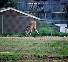 Giraffe Split by Sunshinesmile83