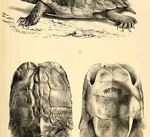 The Reptiles of British India by Albert C L G Gunther 1864 0481 Geormyda Grandis Turtle by wetdryvac