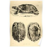 The Reptiles of British India by Albert C L G Gunther 1864 0481 Geormyda Grandis Turtle Poster
