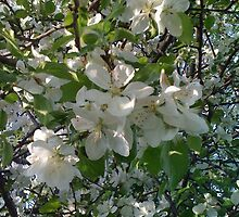 Apple Blossoms by SylviaS