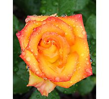 Orange red and yellow rose Photographic Print