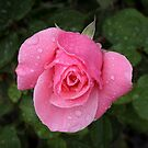 Pink rose with rain drops by bubblenjb