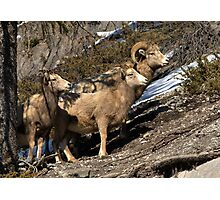 Rams of Banff Photographic Print