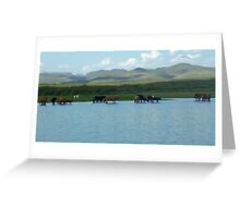 Cows sipping from lake Greeting Card