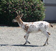 """Albino Deer"" by Lynn Bawden"