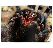 Mouth Parts and Fangs of a Cobalt Blue Tarantula Poster