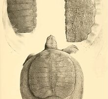 The Reptiles of British India by Albert C L G Gunther 1864 0491 Trionyx guntheri, Ornatus, Chitra Indica Turtle by wetdryvac