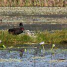 New signets in the Wetlands by byronbackyard