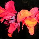 Evening Cannas Flowers by Majic