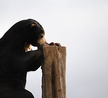 Malayan Sun Bear by BeckyMP
