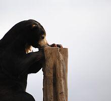 Malayan Sun Bear by BeckyMP