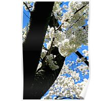 Cherry Blossoms in Bloom Poster
