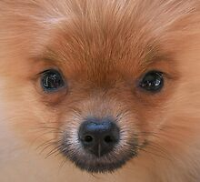Coco the Pomeranian Dog by Steven Nicolaides