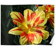 Hybrid Tulips in Yellow and Red Poster