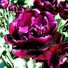 Hybrid Tulips in Purple by barnsis