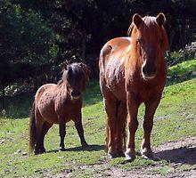 Shetland Ponies at historic Glen Harrow by SherbrookePhoto