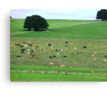 Dairy herd resting - South Purrumbete, Vic. Canvas Print