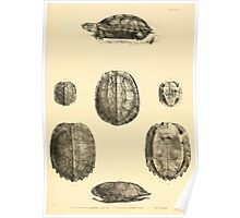 The Reptiles of British India by Albert C L G Gunther 1864 0483 Geormyda Grandis Turtle Poster
