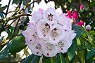 A Hint Of Pink .. Rhododendron Bush by LoneAngel