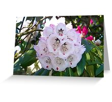 A Hint Of Pink .. Rhododendron Bush Greeting Card
