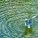 Gull Rising With Ripples by JohnYoung