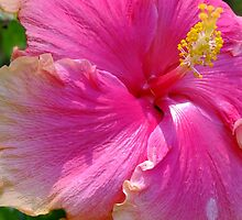 Delicious Hot Pink Hibiscus by Gabrielle  Lees