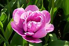 Vibrant Pink Tulip by LoneAngel