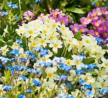 A Waiting Game: Primroses and Forget-me-nots by DonDavisUK