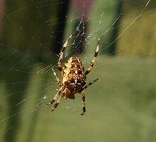Garden Spider in Web by shane22