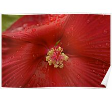 Red Hibiscus Poster