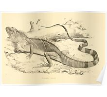 The Reptiles of British India by Albert C L G Gunther 1864 0509 Psysignathus Mentager Poster