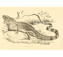 The Reptiles of British India by Albert C L G Gunther 1864 0509 Psysignathus Mentager Photographic Print