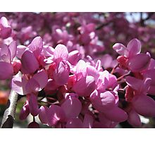 A macro at the Pink tree! Photographic Print