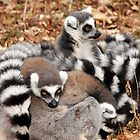 Ring-tailed Lemurs by LisaRoberts