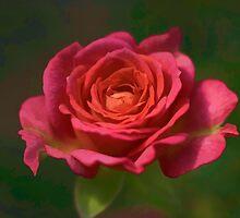 Rose Fragrance by Deborah  Benoit